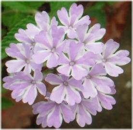 Verbena x hybrida 'Pinwheel Princess'