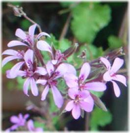 Pelargonium 'Lavender Lass'