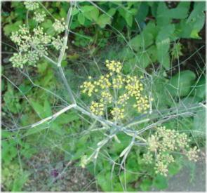 Foeniculum vulgare 'Purpurascens'