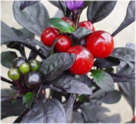 Capsicum annuum 'Black Pearl'