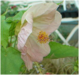 Abutilon Bella Mix F1