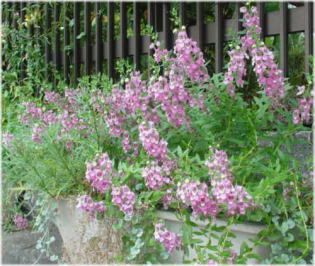 Angelonia salicariifolia