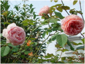 Rosa Abraham Darby