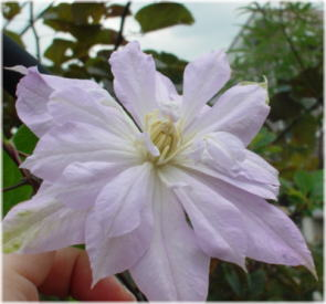 Clematis 'Bell of Woking'