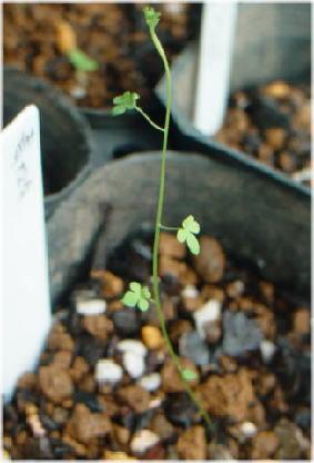 Tropaeolum azureum