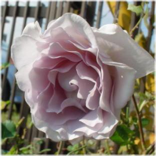 rosa form