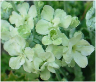Primula malacoides green