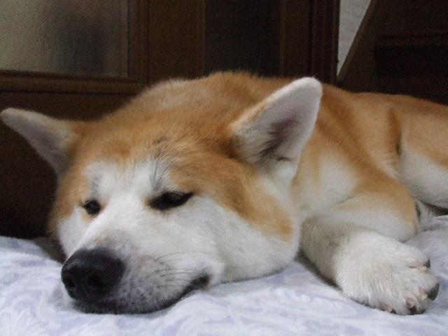 我が家の秋田犬