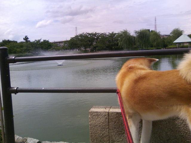 鯉見てます