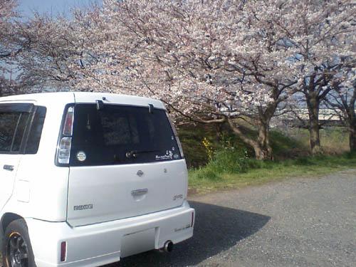 ウチのCUBEと桜。