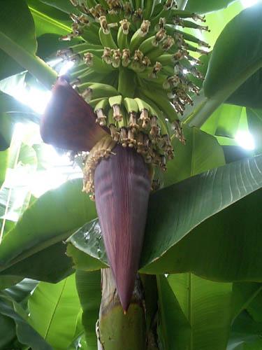 バナナの花!