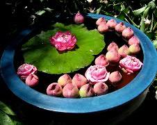 Thai ハス鉢