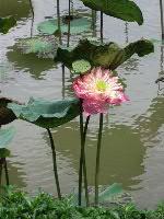 Thai ハス池