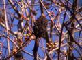 朴の木と蔓梅擬の実