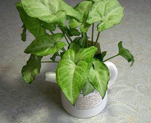 ハイドロカルチャーの観葉植物
