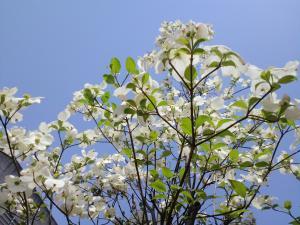 2011.04.26花水木2