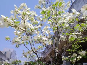 2011.04.26花水木