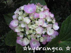 紫陽花(hydrangea )