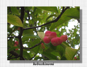 kobushinomi3.jpg