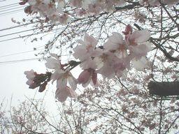 丘の下で咲き始めた『ソメイヨシノ』