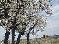 公園の桜と茅ヶ岳
