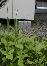 勤務先の中庭に咲くカラスビシャク