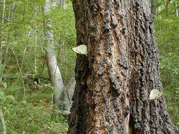 オオムラサキが棲むクヌギの林
