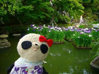 放生池の菖蒲
