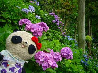 斜面いっぱいの紫陽花