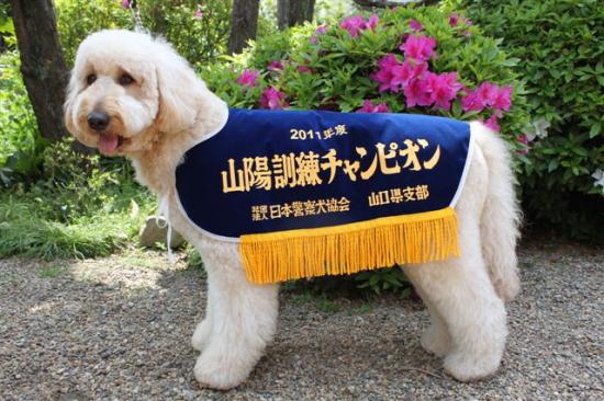 ゴールデンドゥードルくるみ 警察犬協会訓練チャンピオンGI