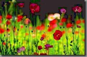 b Iceland-Poppies