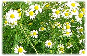 カモミール 花