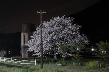 桜紀行2011(60)