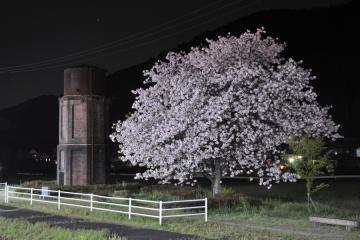 桜紀行2011(61)