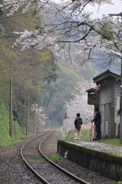 桜紀行2011(74)