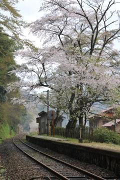 桜紀行2011(75)