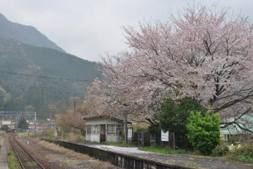 桜紀行2011(76)