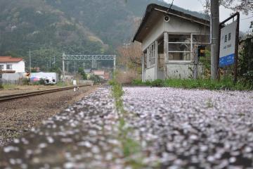 桜紀行2011(78)