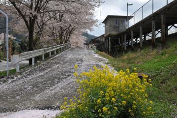桜紀行2011(81)
