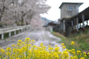 桜紀行2011(82)
