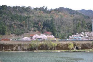 桜紀行2011(83)