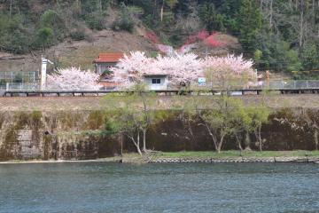 桜紀行2011(84)