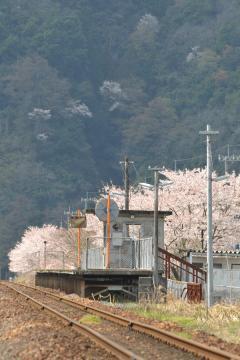 桜紀行2011(85)