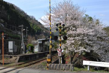 桜紀行2011(86)