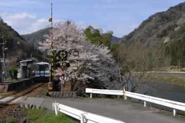 桜紀行2011(88)