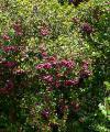 220px-Syzygium_smithii_2[1]