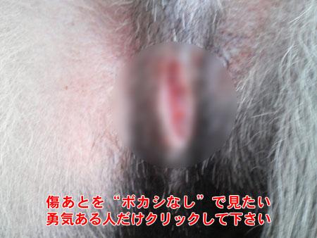 去勢手術(2006/11/17)