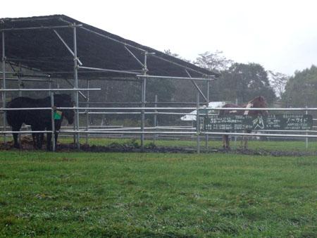 雨の牧場、荷台の牛(2007/10/8)