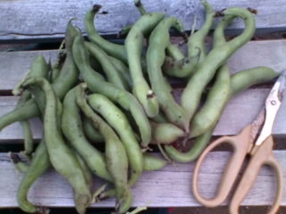 そら豆収穫2