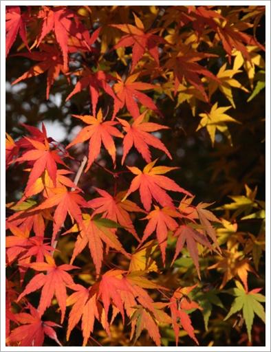 色変わり紅葉
